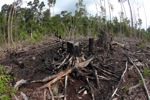 Burned out remains of a rainforest in Borneo