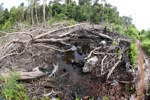 Destroyed peat forest in Borneo [kalbar_1126]