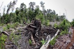 Destroyed peatland in Borneo [kalbar_1128]