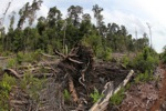 Destroyed peat forest in Borneo [kalbar_1133]