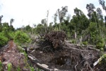 Destroyed peatland in Borneo [kalbar_1143]
