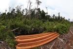Illegally logged wood [kalbar_1148]