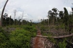 Destroyed peat swamp in Borneo [kalbar_1150]