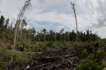 Destroyed peat forest in Borneo