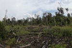 Destroyed peat land in Borneo