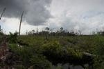 Destroyed peat swamp in Borneo
