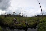 Destroyed peat swamp in Borneo [kalbar_1140]