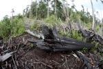 Devastated rain forest landscape in Borneo [kalbar_1159]