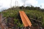 Illegally logged wood cut from a Borneo rainforest [kalbar_1168]