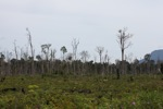 Deforested peat forest in Indonesian Borneo