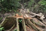 Illegally logged rainforest tree in Gunung Palung National Park [kalbar_1338]