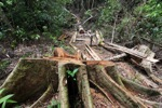 Illegally logged rainforest tree in Gunung Palung National Park [kalbar_1334]