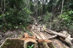Illegally logged rainforest tree in Gunung Palung National Park [kalbar_1339]