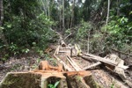 Illegally logged rainforest tree in Gunung Palung National Park [kalbar_1340]