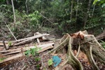 Illegally logged rainforest tree in Gunung Palung National Park [kalbar_1343]