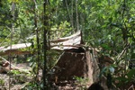 Illegally logged rainforest tree in Gunung Palung National Park [kalbar_1346]