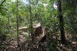 Illegally logged rainforest tree in Gunung Palung National Park [kalbar_1337]