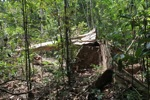 Illegally logged rainforest tree in Gunung Palung National Park