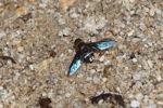 Blue-winged fly [kalbar_1356]