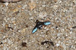 Blue-winged fly