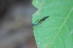 Rainbow grasshopper