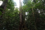 Hardwood rainforest tree