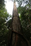 Hardwood tree in the rainforest