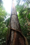 Hardwood in the rainforest
