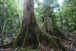 Rainforest tree buttress roots