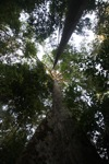 Jungle canopy as seen from the forest floor
