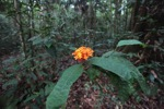Orange flowers in the Borneo rainforest [kalbar_1394]