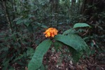 Orange flowers in the Borneo rainforest