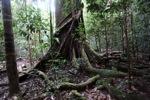 Rain forest tree [kalbar_1397]
