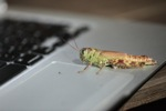 Grasshopper on an Apple Macbook Air laptop