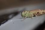 Grasshopper on an Apple Air computer