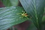 Neon green katydid [kalbar_1424]