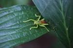 Neon green katydid [kalbar_1423]
