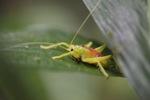 Neon green katydid [kalbar_1425]