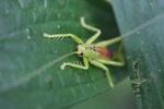 Neon green katydid [kalbar_1426]