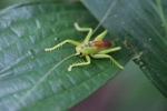 Neon green katydid