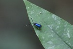 Blue beetle [kalbar_1439]