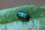Blue-green beetle [kalbar_1446]