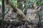 Roots growing out of the trunk of a rainforest tree