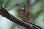 Leaf-mimicking butterfly