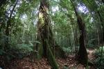 Buttress roots of a rainforest tree [kalbar_1480]