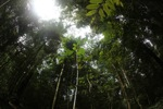 Rainforest in West Kalimantan, Indonesia [kalbar_1486]