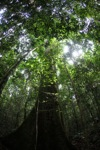 Rainforest in West Kalimantan, Indonesia [kalbar_1487]