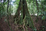 Stilt roots of a freshwater swamp tree in Borneo