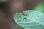 Orange flies with purple eyes [kalbar_1529]