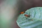 Orange flies with purple eyes [kalbar_1539]